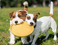 Dogs Playing Frisbee